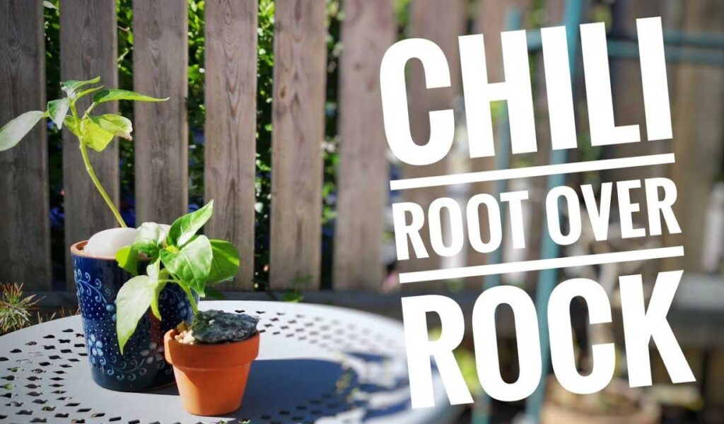 chili root over rock experiment