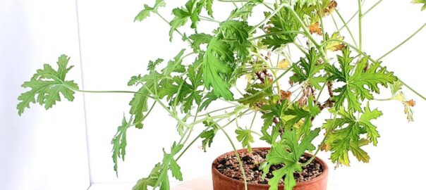 rose geranium bonsai