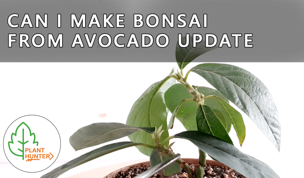 Can i Make Bonsai from Avocado 🥑🌱Update April 2020