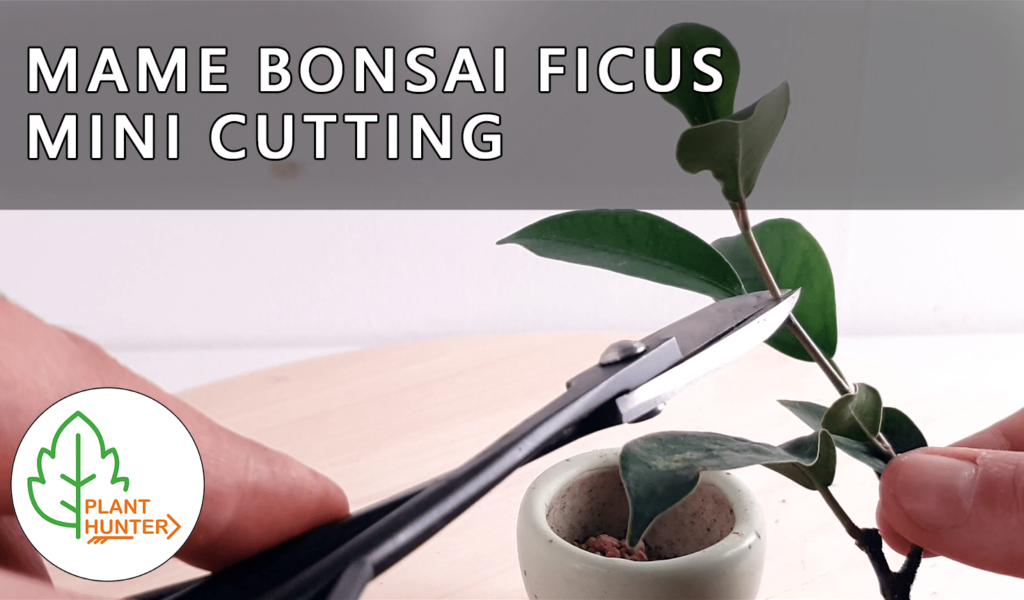 Mame Bonsai Ficus  – Planting a mini cutting