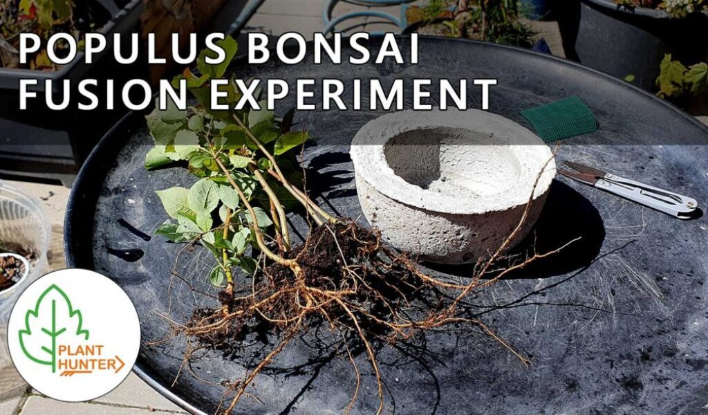Populus Bonsai Fusion Experiment